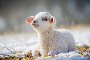 Sheep Diseases and Conditions